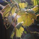 грезен виноград
