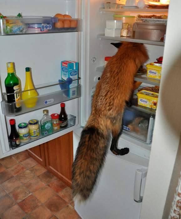 кмітливий лис