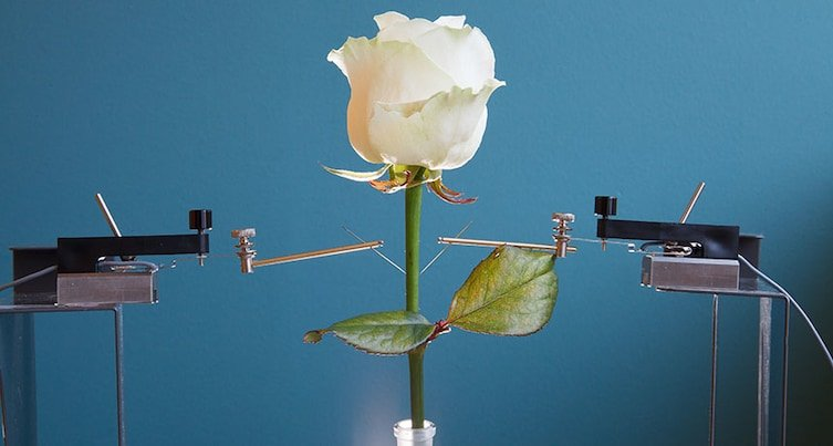 Троянда-кіборг