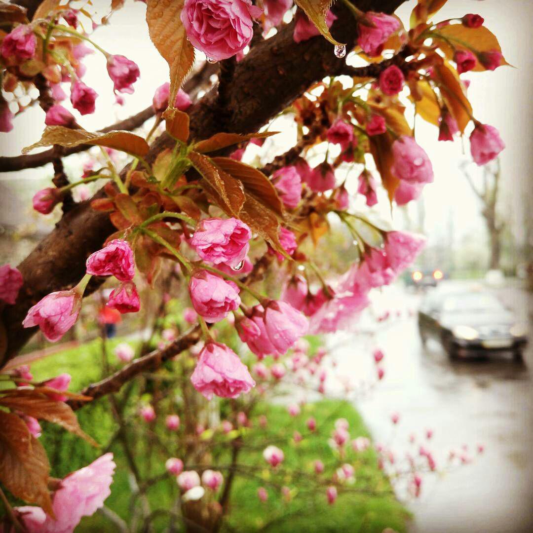 Sakura. В Ужгороді почалося